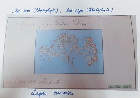 alge - muzeu Sinaia1